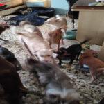 Crotone,  sequestrati ventinove cani: erano all'interno di un'abitazione in condizioni fatiscenti